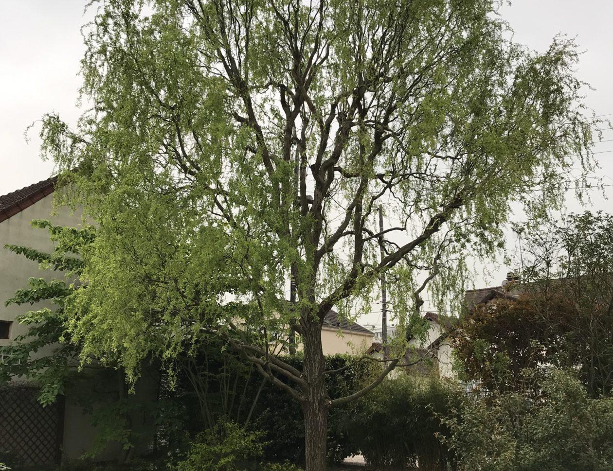 arbre élagué la tête dans les arbres
