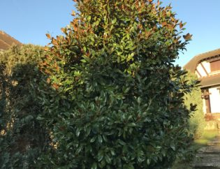 arbre avant élagage la tete dans les arbres